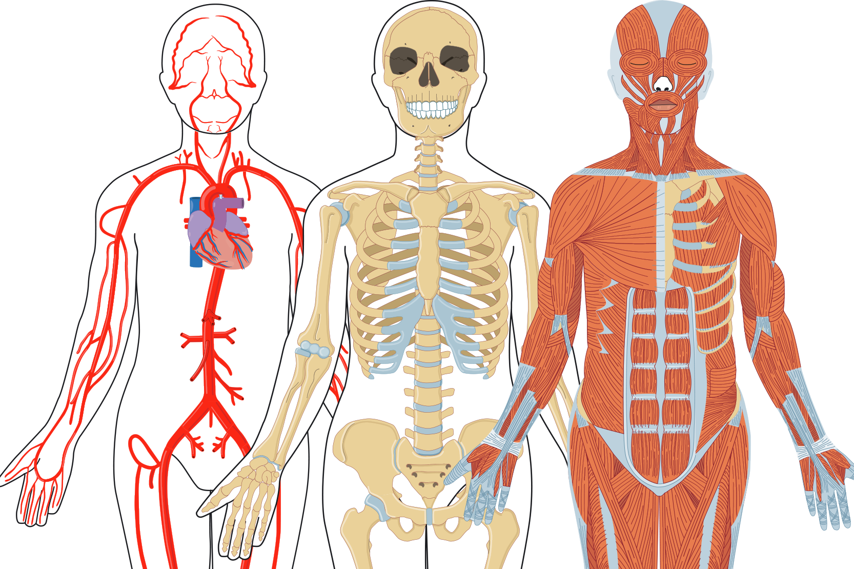 inre organ i kroppen